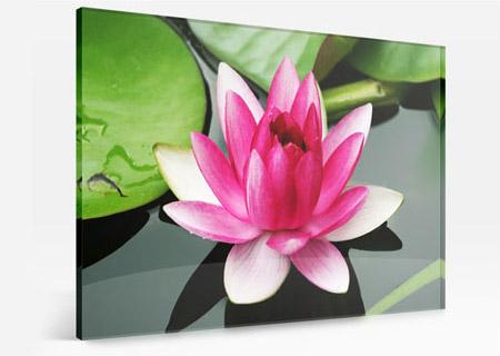 Foto op plexiglas van kleurrijke lotusbloem